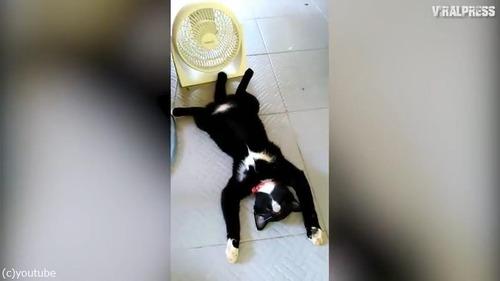 扇風機の前で野生を忘れて涼む猫03
