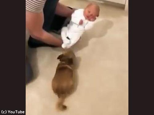妊婦を守ってきたチワワが赤ちゃんと初対面(動画)