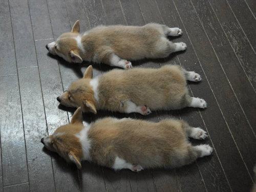 寝てるコーギー04