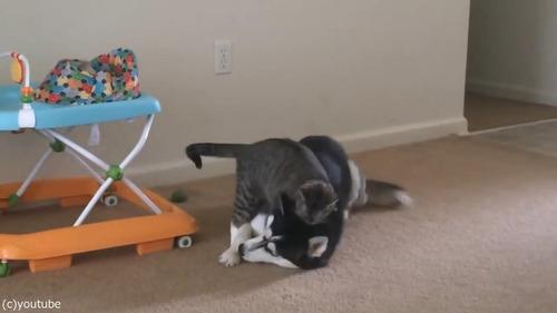 犬の背中に飛び乗ろうとする猫04