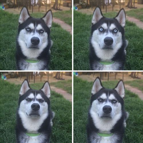 目つきの鋭いハスキー犬にトナカイ衣装06