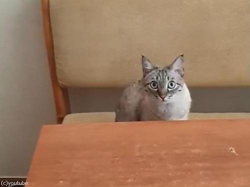 顔でアピールする猫「食べたい」00