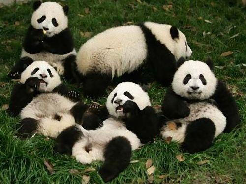 パンダのよいしょよいしょ00