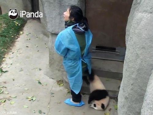 ドアストッパーな赤ちゃんパンダ08