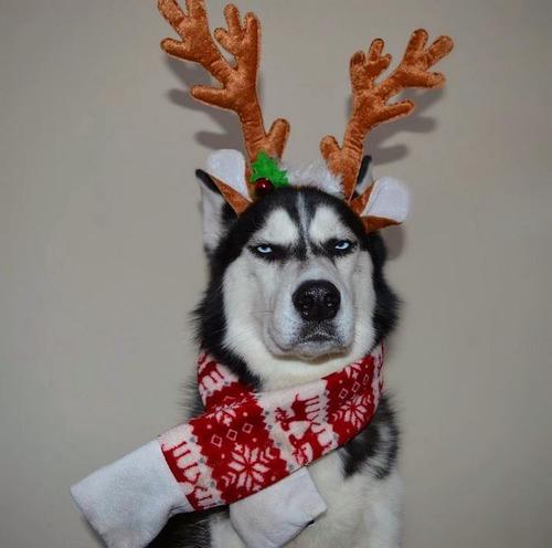 目つきの鋭いハスキー犬にトナカイ衣装01