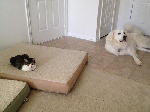 猫にベッドを奪われた犬たち14