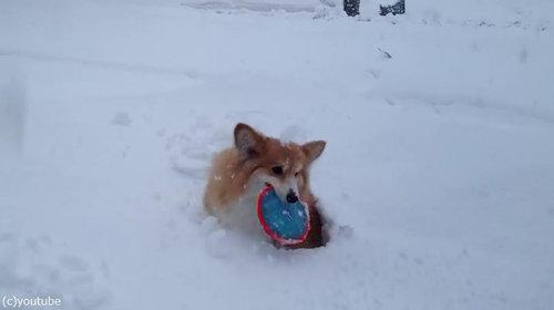 コーギーの雪遊び04