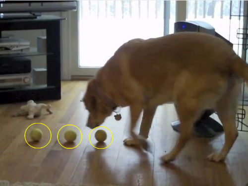 テニスボールを3つ同時にくわえる犬