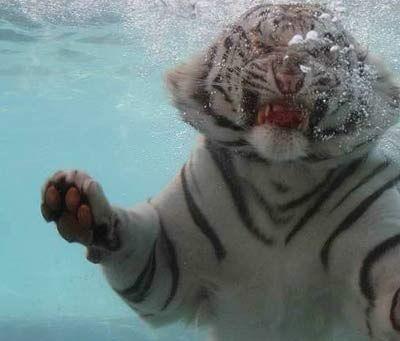 泳ぐ虎13