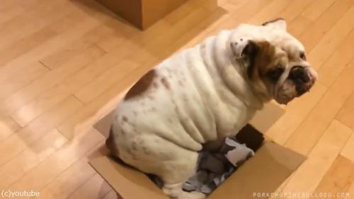ブルドッグ「どうしてもこの箱が好きなんです」02