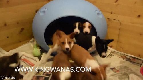 小さなベッドの中に子犬が16匹06