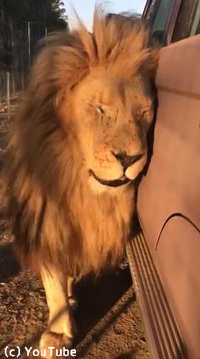 クルマにひたすらスリスリしてくるライオン02