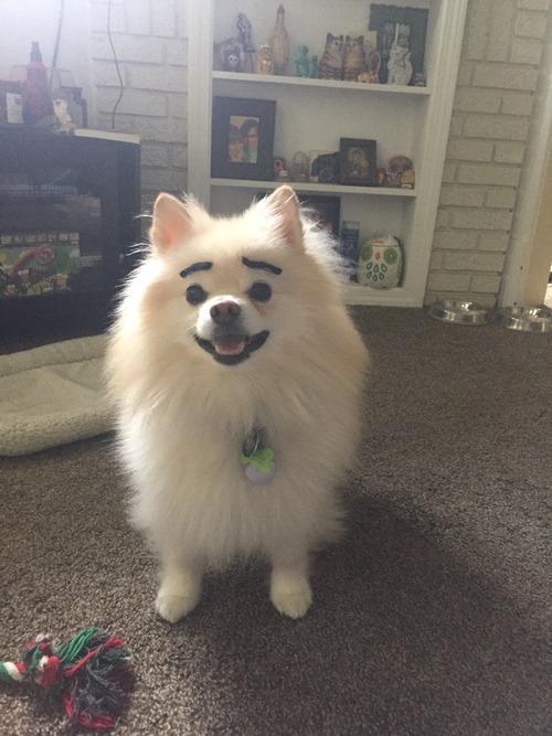 ハロウィン用の口ひげで、犬の眉毛を作ってみた01