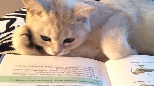頬杖ついて読書する猫03