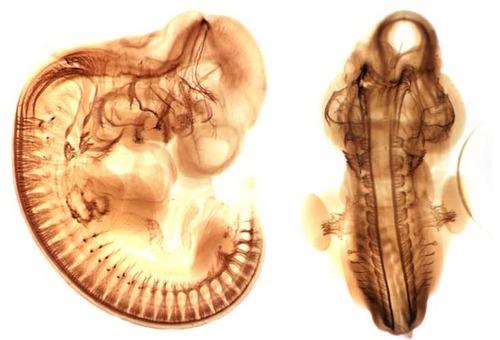 コウモリの胎児02