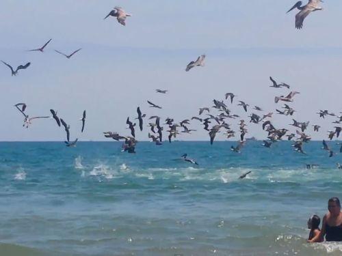 ペリカンの大群がビーチでダイブ01