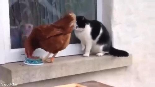 猫とニワトリ05
