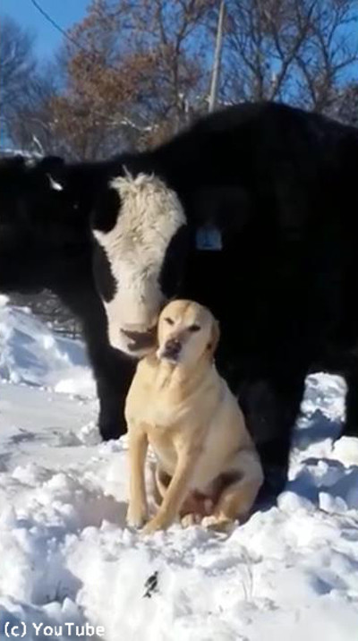ワンコのことが大好きな牛02
