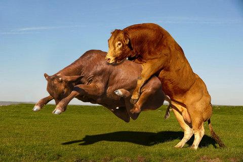 牛のジャンプ力を18