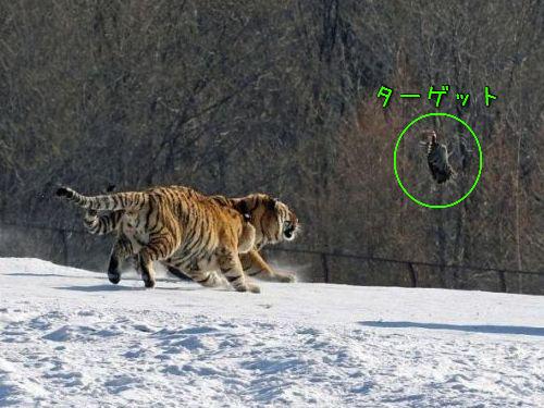 虎のジャンプ失敗00