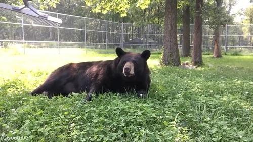 ブラッシング大好きな熊さん01