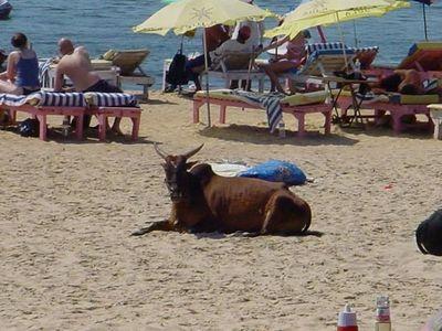リゾート・ビーチに牛08