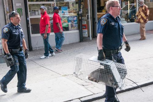 ニューヨーク警察とアライグマ04