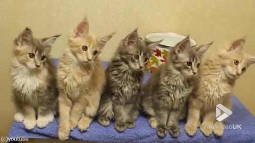シンクロ率400%なメインクーンの子猫たち03