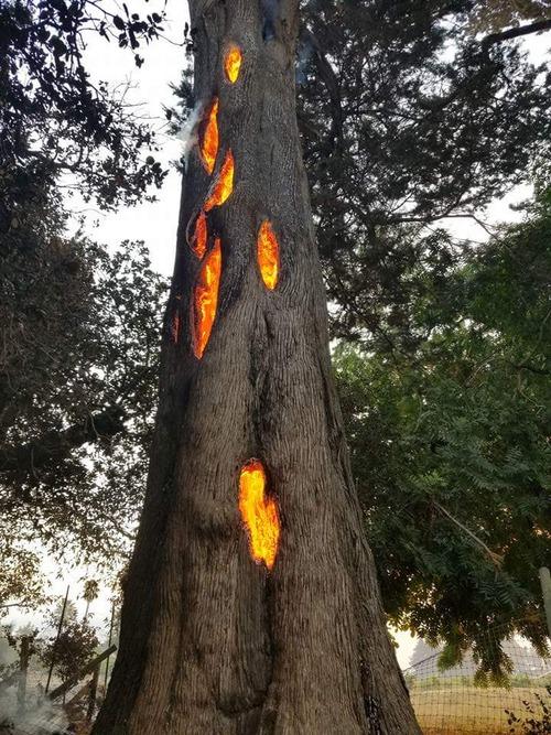 カリフォルニア北部の山火事で燃えている木01