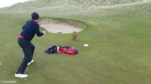 ゴルファーの財布を盗むキツネ05