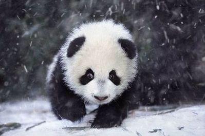 雪で大はしゃぎのパンダ親子07
