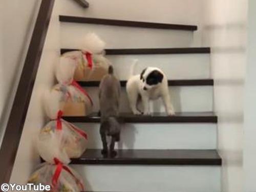 階段を下りられない弟を助けるお姉ちゃんワンコ00