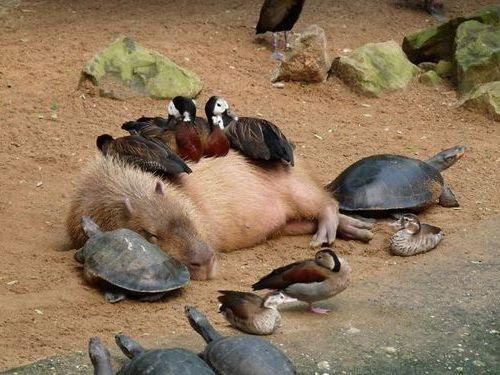 他の動物と仲良しのカピバラ00
