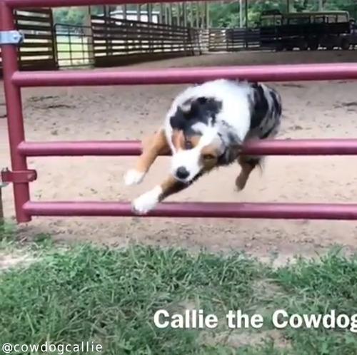 柵の飛び越え方がカッコよすぎる犬04