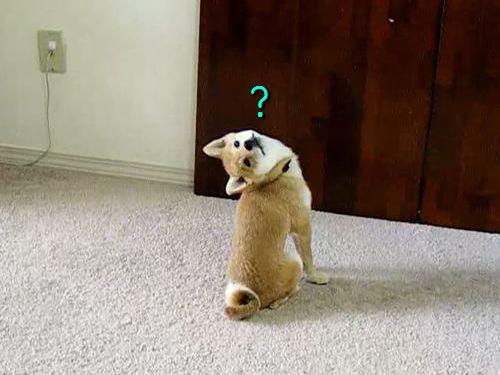 首の角度がヘンな柴犬01