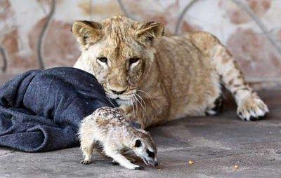 ミーアキャットとライオン02