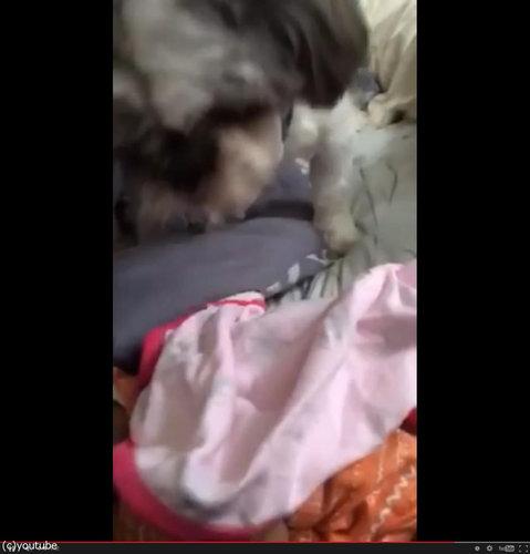 赤ちゃんにブランケットを掛けてあげる犬07