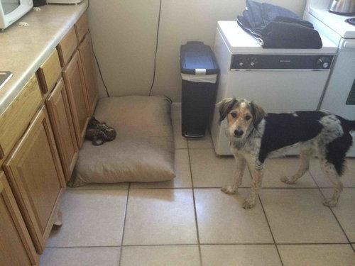猫にベッドを奪われた犬たち02