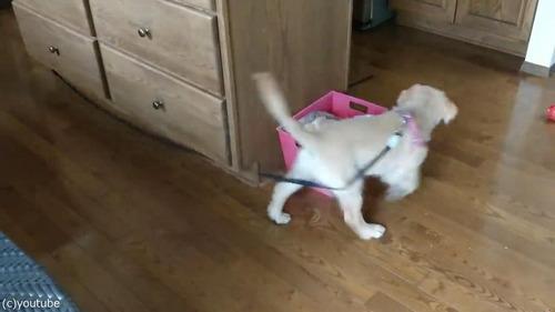 家の中で運動してくれる犬01