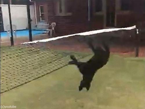 テニスのネットに引っかかった犬の宙返り03