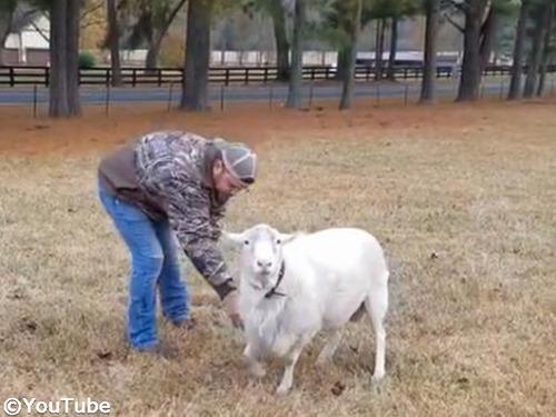「お手」をさせたい飼い主さんVS抵抗する羊00
