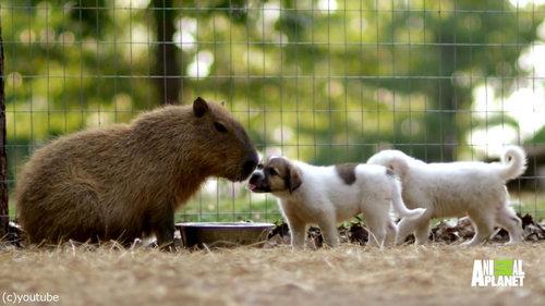 やさしいカピバラ、子犬たちのお母さんに03