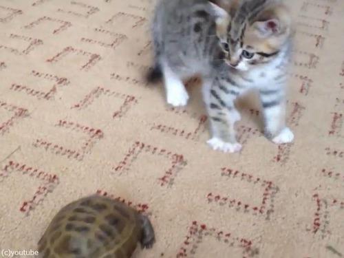 子猫vs子亀00