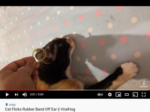 猫耳に輪ゴムを載せると