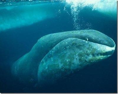 ホッキョククジラ