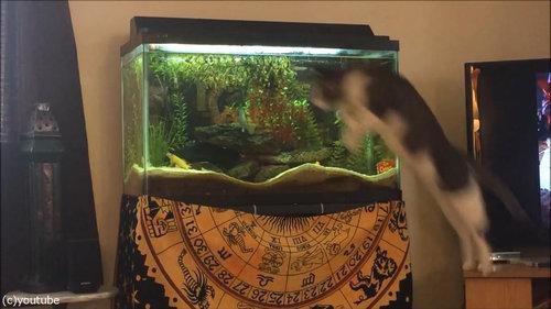 水槽を狙う猫03
