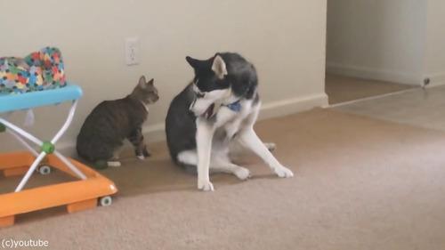 犬の背中に飛び乗ろうとする猫02