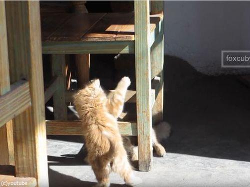 子ギツネと子猫01