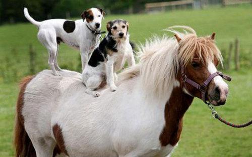 馬に騎乗する犬05