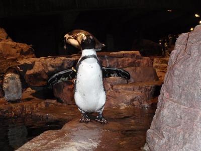 ペンギンのヒザ01-1